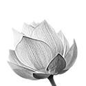 Flor carbón cerrada