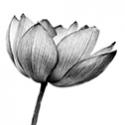 Flor carbón abierta